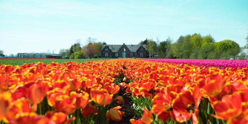Primavera de tulipanes en Holanda